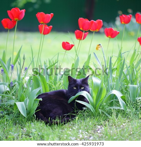 Black cat lying in garden with red tulips