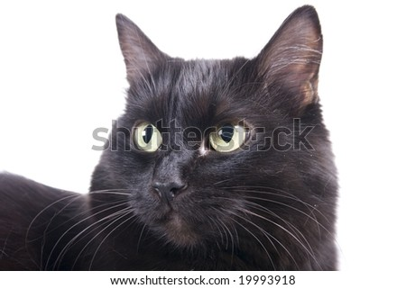 Black cat muzzle isolated