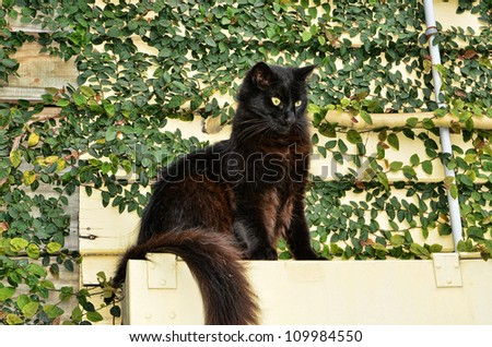 Black Cat Sitting on a Ledge Against an Ivy Background