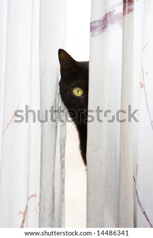 Black cat with bright green eyes peeks with one eye, around a white curtain - stock photo