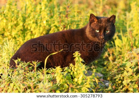 black cat with green eyes in the grass at sunset