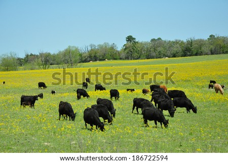 Black Cattle in pasture - stock photo