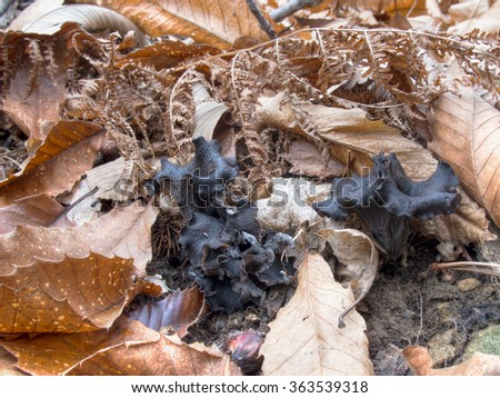Black chanterelle mushrooms. Aka Trumpet of the dead, Black trumpet, or Horn of plenty