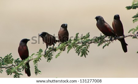 Black-cheeked Waxbill - African Birds - Perched on a branch, this flock of boys socially interact around a watering hole on a game ranch in Namibia.