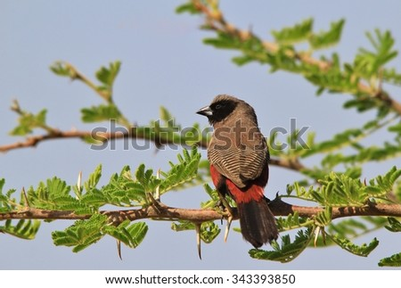 Black-cheeked Waxbill - African Wild Bird Background - Colorful Summer - stock photo