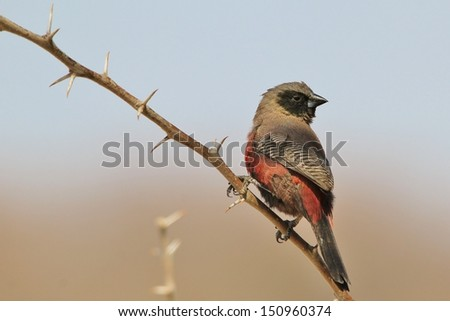 Black Cheeked Waxbill - Wild and Free Birds from Africa - Beauty amongst the thorns - stock photo