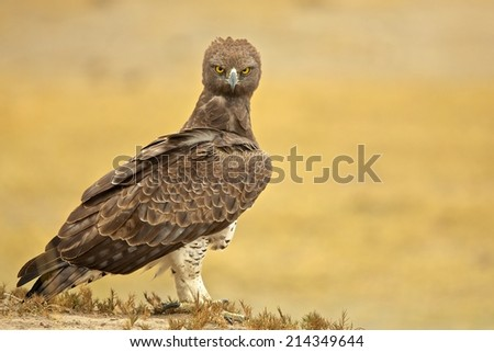 Black-chested Snake-eagle (Circaetus pectoralis) - stock photo
