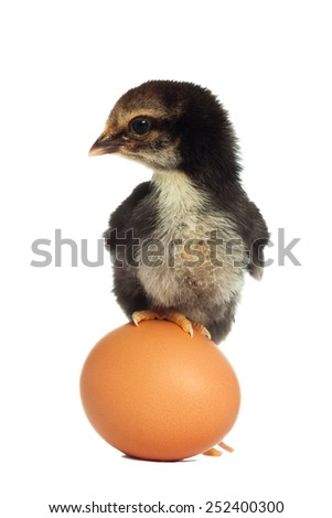 Black chick standing on the egg isolated - stock photo