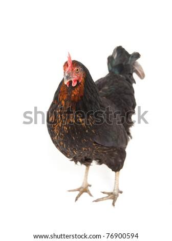 Black Chicken on White Background - stock photo