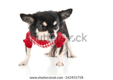 Black Chihuahua with red sweater isolated over white background