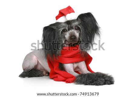 Black Chinese Crested Dog in red scarf and Christmas hat on a white background