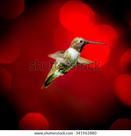 Black Chinned Hummingbird flying against a red festive background giving of a festive atmosphere. This makes a very unusual Christmas card to any hummingbird or wild life enthusiast. Special card. - stock photo