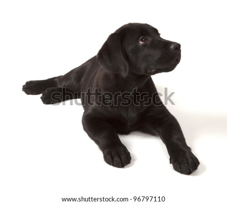 Black-Chocolate Labrador Retriever Puppy 3 months old isolated on white background - stock photo