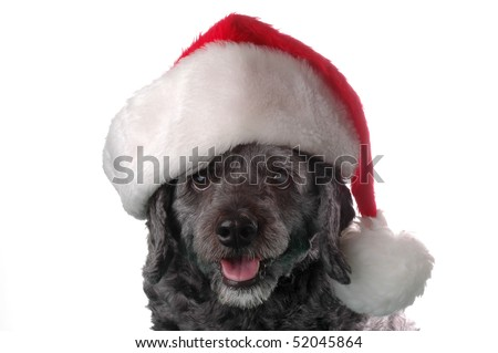 Black cockapoo wearing a Santa hat