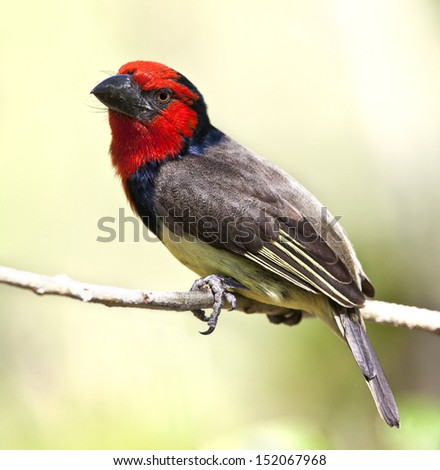 Black-collared Barbet (Lybius torquatus) in the Xakanaka region of the Okavango Delta in Botswana - stock photo
