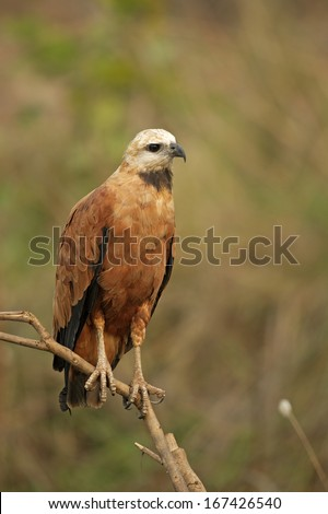 Black-collared hawk, Busarellus nigricollis, single bird on branch, Brazil
