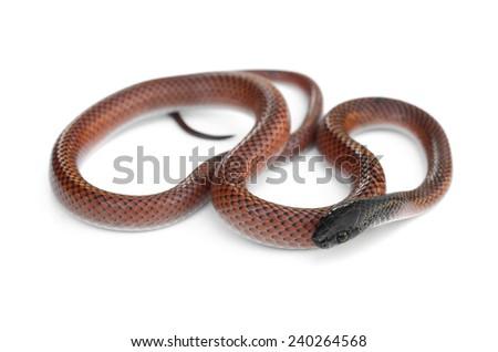 Black-collared snake (Drepanoides anomalus) - stock photo