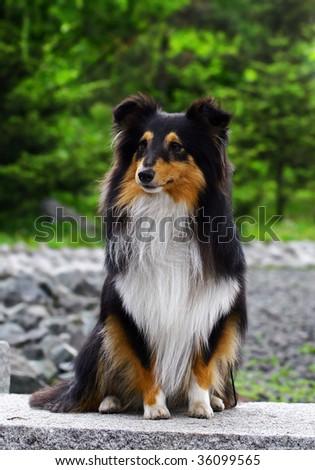 Black collie puppy - stock photo