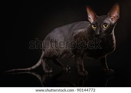 Black Cornish Rex cat - stock photo