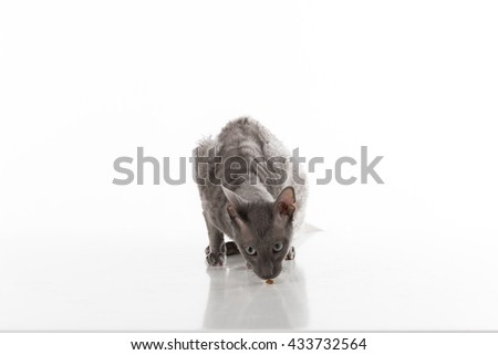 Black Cornish Rex Cat Sitting on the White Table with Reflection. White Background. Portrait. Eating Food. - stock photo