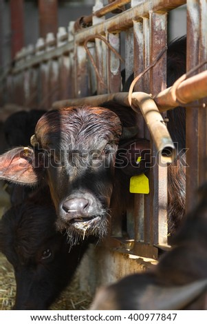 black cow closeup on a farm, the agricultural industry
