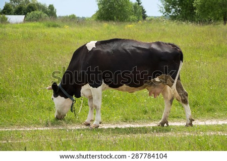 Black cow is eating grass in russian village - stock photo