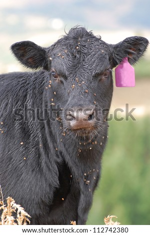 Black cow with burrs and stickers on her face from grazing in the mountains. - stock photo