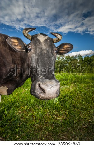 Black cow with white muzzle is grazed on meadow and eats green grass. - stock photo