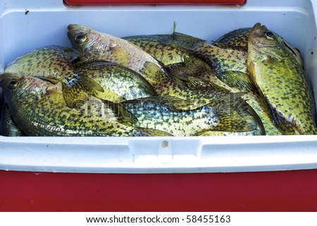 Black Crappies (Pomoxis nigromaculatus)