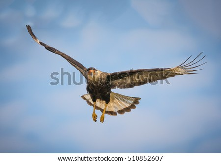Black crested caracara in flight over the Pantanal, Brazil