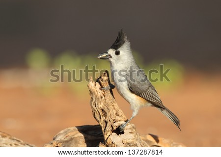 Black-crested Titmouse (Poecile atricapillus) perched on a branch - Texas