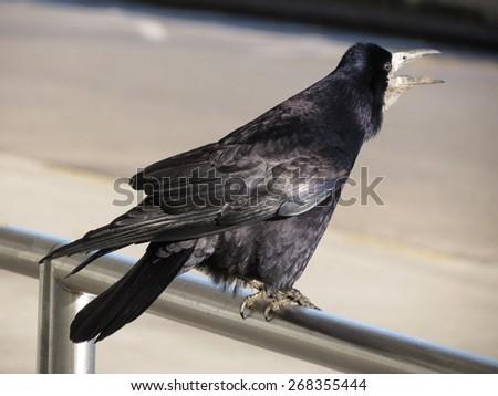 black crow or rook (Corvus frugilegus) in a urban environment - stock photo