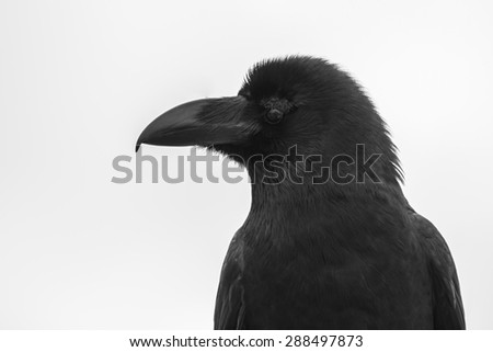 Black Crow (Raven) Portrait with Pale Grey Background