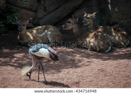 Black Crowned Crane at the Bioparc in Fuengirola - stock photo