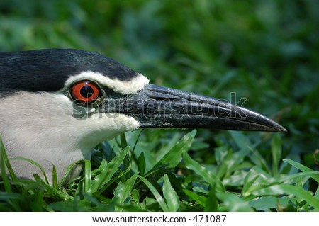 Black-crowned Night Heron close up of face