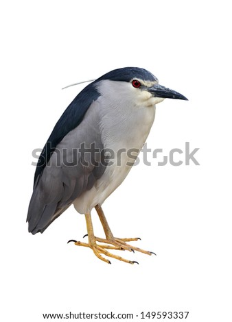 Black-crowned Night-Heron isolated on white background