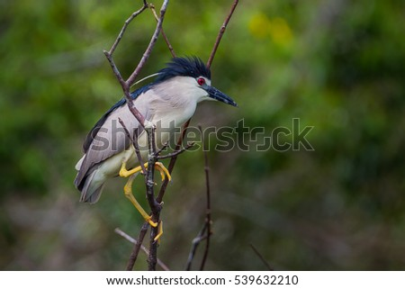 Black-crowned night heron, Nycticorax nycticorax in real nature in Thailand