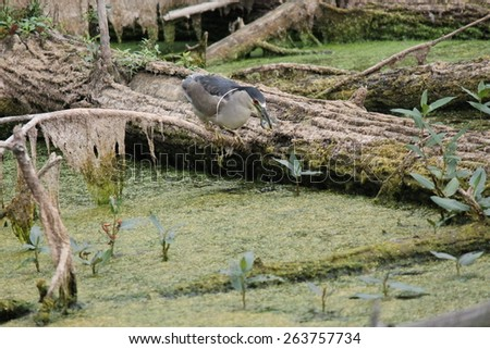 Black Crowned Night  Heron (Nycticorax nycticorax) with a fish