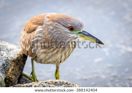 Black Crowned Night Heron Up Close