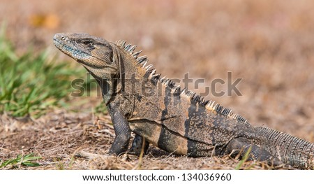 Black Ctenosaur, Ctenosaura similis, the fastest lizard in the world