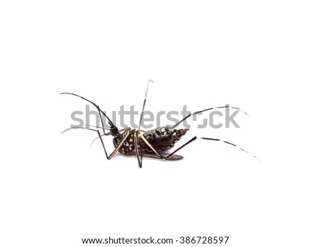 black culex mosquito isolated on white background