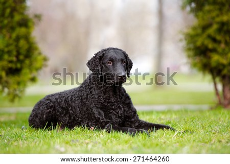 black curly coated retriever dog lying down on the grass - stock photo