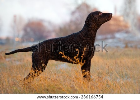 black curly coated retriever dog outdoors - stock photo