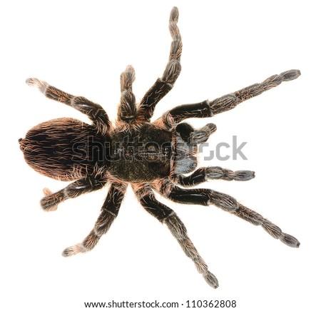 Permalink to pet spider tips for chaco golden knee tarantula : handling tips for pet chaco tarantula