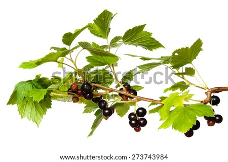 black currant branch on the white background - stock photo