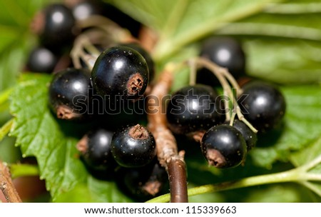 Black currant, ripe berries on a branch