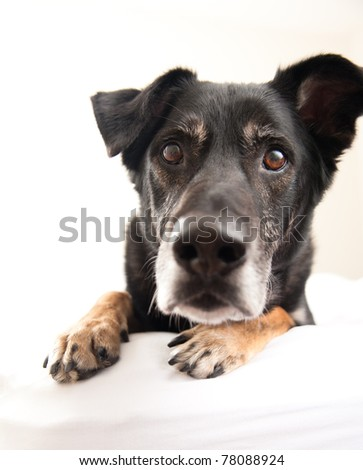 Black Cute Old Dog Curious About You - stock photo