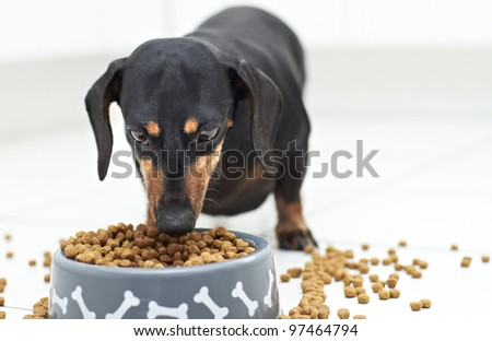 Black Dachshund dog guarding and eating food - stock photo
