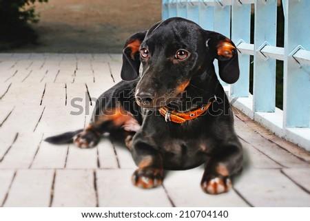 Black dachshund dog outdoors - stock photo