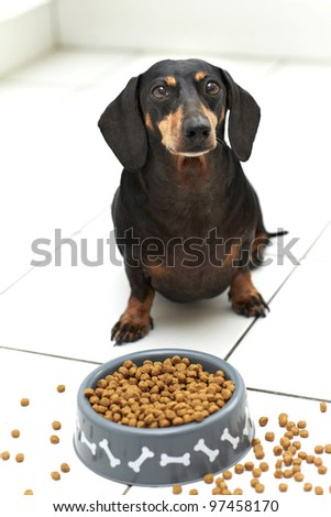 Black Dachshund dog sitting and waiting for command to eat - stock photo
